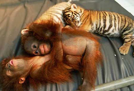 tiger cubs and orangutan babies